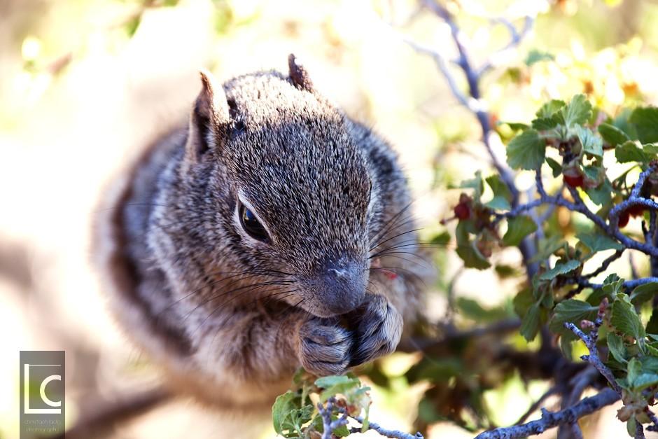 2013_06_18_Squirrel_Grand_Canyon_3997 Kopie
